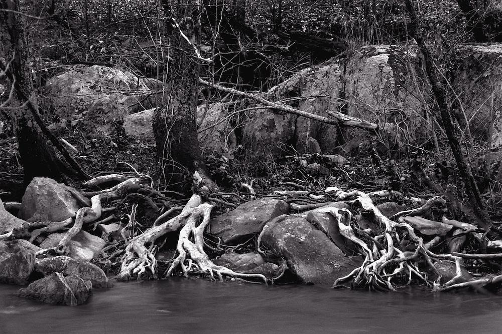 Tree roots on riverside