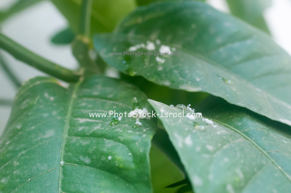 Mealy bugs on a leaf. Cluster of mealy bugs (Pseudococcidae) on the underside of a lemon tree leaf. Photographed in Israel