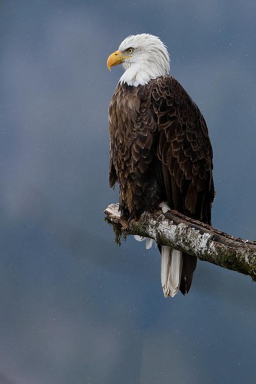 Wintering bald eagle perched in tree near Deming, Washington
