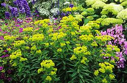 Euphorbia schillingii in the Long Border at Great Dixter