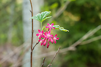 This mountain forest-loving red-flowering currant may not produce the edible currants many of us love to eat, but these flowers will certainly draw many spring hummingbirds! Color varies from bright red to pale pink.