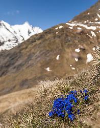 THEMENBILD - die Grossglockner Hochalpenstrasse. Die hochalpine Gebirgsstrasse verbindet die beiden oesterreichischen Bundeslaender Salzburg und Kaernten mit einer Laenge von 48 Kilometer. Sie ist als Erlebnisstrasse vorrangig von touristischer Bedeutung und das Befahren ist fuer Kraftfahrzeuge mautpflichtig, im Bild Blumen auf einer Wiese dahinter der Grossglockner, aufgenommen am 24.05.2014 // ILLUSTRATION - the Grossglockner High Alpine Road. The high alpine mountain road connects the two Austrian federal states of Salzburg and Carinthia with a length of 48 kilometers. It is as a matter of priority road experience of tourist importance and for driving motor vehicles is a toll road. Picture taken on 2014/05/24. EXPA Pictures © 2014, PhotoCredit: EXPA/ JFK
