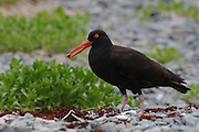 Oyster Catcher adult with her chicks in Kukak Bay along the Katmai Coast, Alaska. The oystercatchers are a group of waders; they form the family Haematopodidae, which has a single genus, Haematopus.