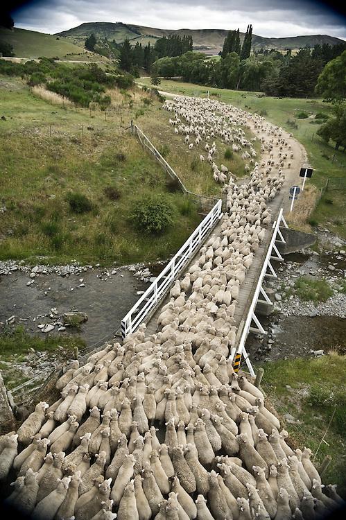 A sheep drive on the Otago Rail Trail.