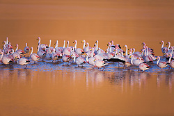 Andean flamingos (Phoenicoparrus andinus) searching for algae in the shallow water of Laguna Colorada, Bolivia