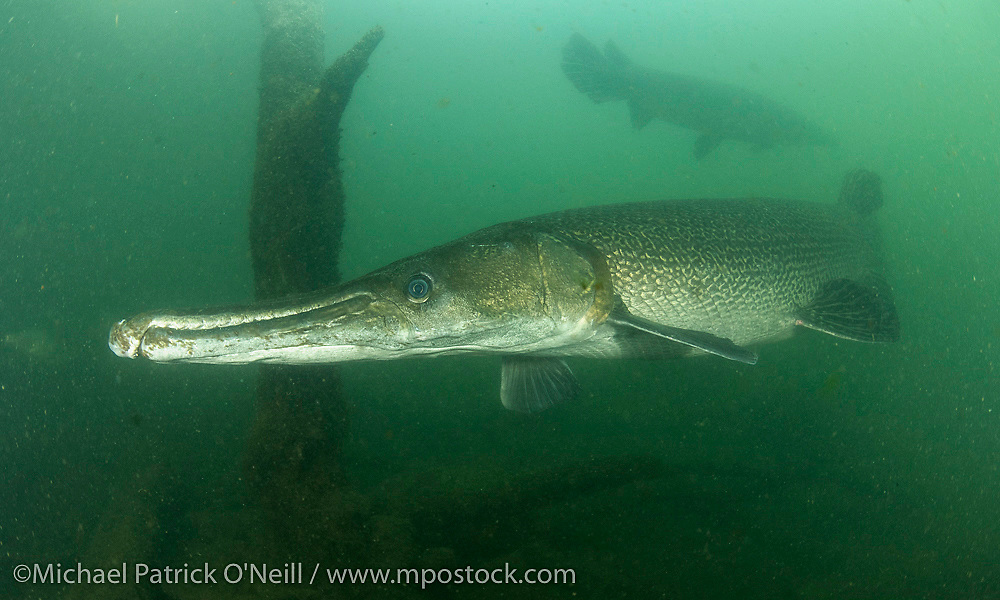 Captive adult Alligator Gar, Atractosteus spatula, swim in a large outdoor tank at the Texas Freshwater Fisheries Center in Tyler, TX.