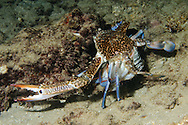 """Portunus pelagicus, also known as the flower crab, blue crab, blue swimmer crab, blue manna crab or sand crab, is a large crab found in the intertidal estuaries of the Indian and Pacific Oceans (Asian coasts) and the Middle-Eastern coast of the Mediterranean Sea. The name """"flower crab"""" is used in east Asian countries while the latter names are used in Australia. The crabs are widely distributed in eastern Africa, Southeast Asia, East Asia, Australia and New Zealand.The males are bright blue in colour with white spots and with characteristically long chelipeds, while the females have a duller green/brown, with a more rounded carapace. The carapace can be up to 20 centimetres (7.9 in) wide.<br /> P. pelagicus commonly enters estuaries for food and shelter. Its life cycle is dependent on estuaries as the larvae and early juveniles use these habitats for growth and development. Prior to hatching, the female moves into shallow marine habitats, releases her eggs and the newly hatched zoea I larvae move into estuaries. During this time they feed on microscopic plankton and progress from the zoea I stage to the zoea IV stage (approximately 8 days) and then to the final larval stage of megalopa (duration of 4-6 days). This larval stage is characterised by having large chelipeds used to catch prey. Once the megalopa metamorphoses to the crab stage they continue to spend time in estuaries which provides a suitable habitat for shelter and food. However, evidence has shown that early juveniles cannot tolerate low salinities for extended periods, which is likely due to its weak hyper-osmoregulatory abilities.[4] This may explain their mass emigration from estuaries to seawater during the rainy season. Male Portunus pelagicus are believed to become more territorial in colder water. This may explain why male crabs are rarely sighted within a close proximity to each other in more temperate waters; it also may explain why their female counterparts seem more prolific in these such are"""