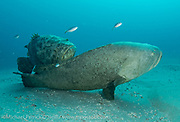 A pair of Goliath Groupers, Epinephelus itajara, court offshore Singer Island, Florida, during the late summer mating season.