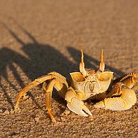 Crabe Fantome, Fontom crab, Masoala National Park, Madagascar