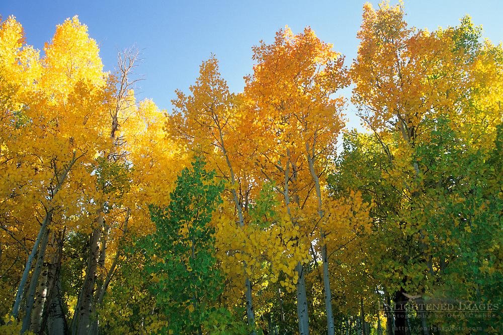Aspen trees starting to turn colors in fall, Virginia Creek, Eastern Sierra Mono County, CALIFORNIA