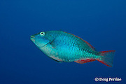 redband parrotfish, Sparisoma aurofrenatum, initial phase, <br /> Esmeralda Canyons, Ambergris Caye, Belize, Central America ( Caribbean Sea )