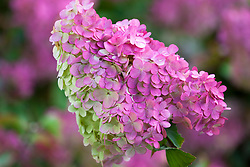 Hydrangea paniculata Vanille Fraise = 'Renhy' - showing autumn colouring