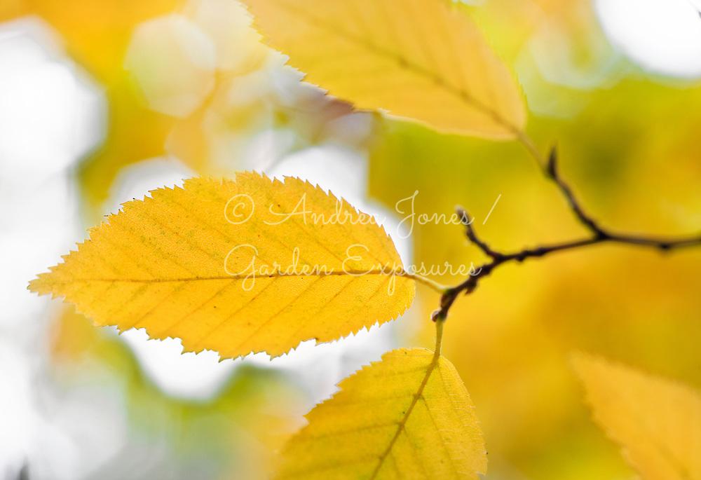 Carpinus betulus 'Fastigiata' (hornbeam 'Fastigiata') yellow foliage in autumn