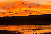 Sandhill Cranes silhouetted by the sunset as the come in to land at their nightly resting area in a marsh at the Bosque del Apache National Wildlife Refuge in San Antonio, New Mexico. Thousands of Sandhill Cranes spend the winter in the refuge.