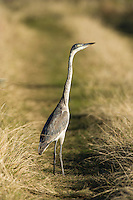 Black Headed Heron, Gondwana Game Reserve, Western Province, South Africa