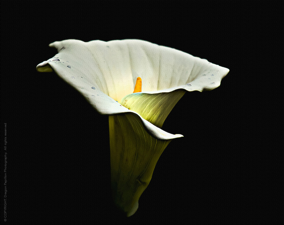 single calla lilly against black background