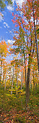 Maples and Birch Trees showing off red-orange-yellow-green foliage.  Rock Lake Road, Algonquin Provincial Park.  Three shot stitched vertical panorama.
