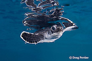 green sea turtle hatchling, Chelonia mydas (c), with reflection on undersurface of water, Endangered Species, Caribbean