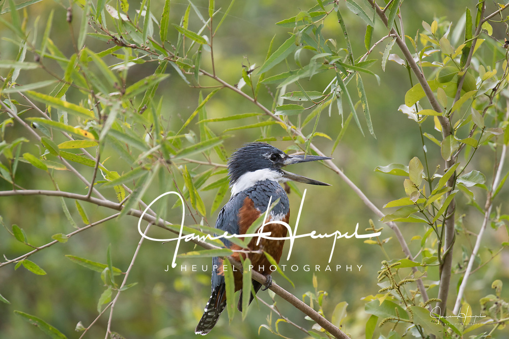Ringed Kingfisher in Bamboo
