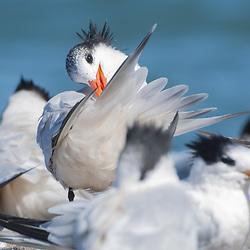 Royal Terns (Thalasseus maximus), Sausalito, California, US