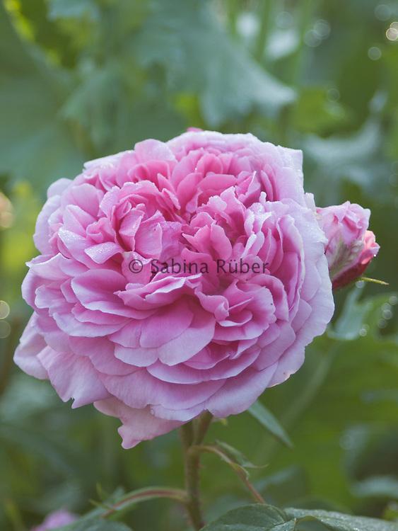 Rosa 'Comte de Chambord' - shrub rose