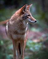 The coyote is a canid native to North America. It is a smaller, more basal animal than its close relative, the grey wolf, being roughly the North American equivalent to the Old World golden jackal, though it is larger and more predatory in nature