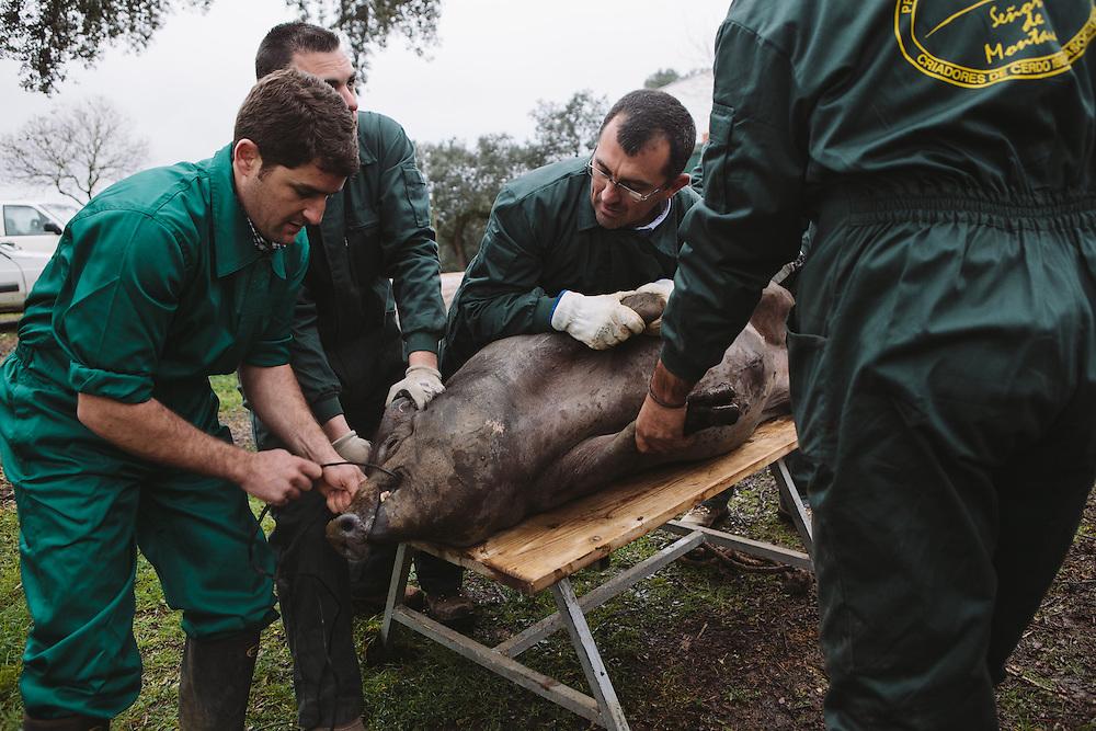 An Iberico pig is prepared for slaughter, Finca Al Cornocal, Extramadura (Barajoz Province), Spain.