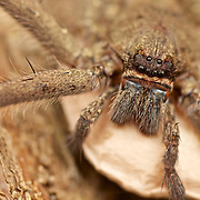 Female huntsman Spider Heteropoda sp. with egg sac.