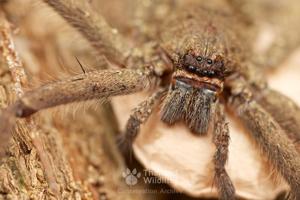 Female huntsman Spider Heteropoda sp. with egg sac.