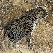 Leopard Fight