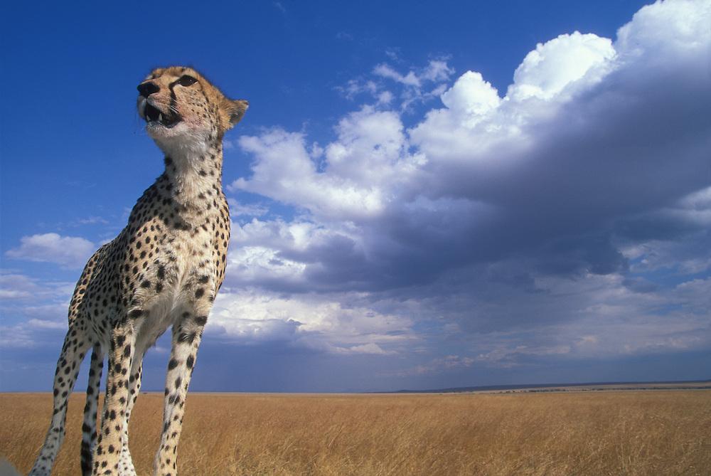 Africa, Kenya, Masai Mara Game Reserve, Adult Female Cheetah (Acinonyx jubatas) looks out at surrounding savanna