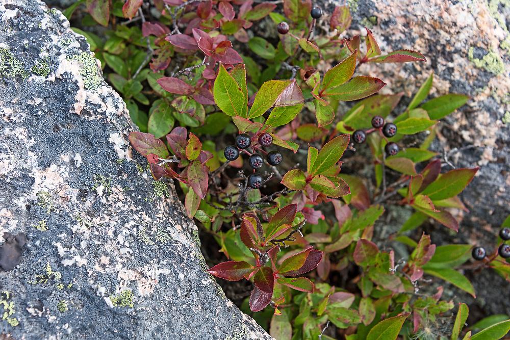 Black Chokeberry (Aronia melanocarpa) growing in a granite crevice, Cadillac Mountain, Acadia National Park, Maine.