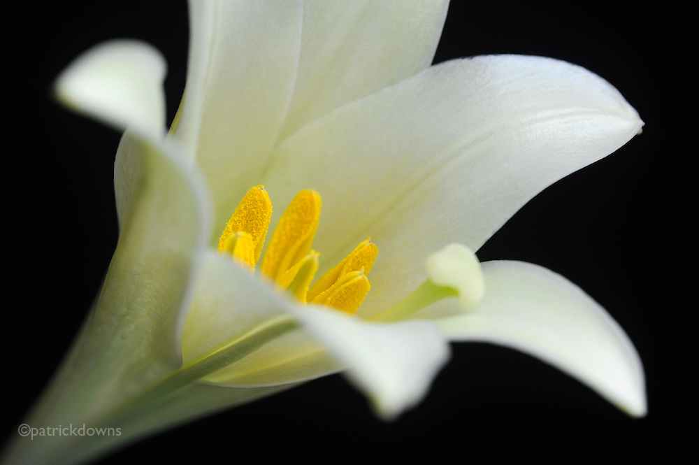 New bloom, lily