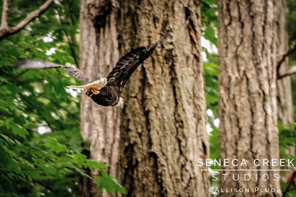This eagle flew right over my head as I was brushing my teeth one morning while camping. With my toothbrush still in my mouth, I grabbed my camera and caught him as he was flying away. As they always say, the best camera is the one you have on you!