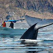 Blue whale (Balaenoptera musculus) diving next to a whale watching boat in the Sea of Cortez, Baja Peninsula, Mexico