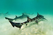 Leopard sharks (Triakis semifasciata); gregarious species; feeds on small fish, crustaceans, and other marine invertebrates; La Jolla, CA USA