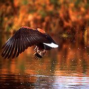 African Fish Eagle (Haliaeetus vocifer)  -  Nxamaseri - Okavango Delta - Botswana <br /> <br /> An African Fish Eagle (Haliaeetus vocifer) hunts for it's dinner on the Nxamaseri Channel.