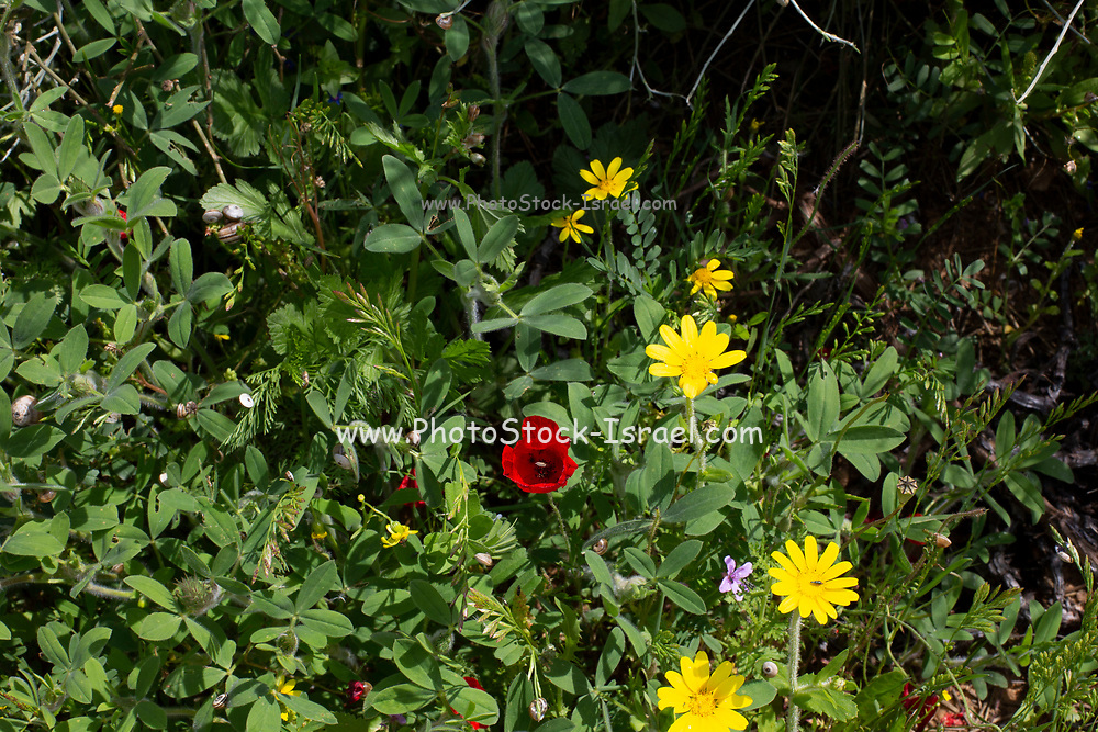 A field of Israeli wildflowers blooming in vibrant colours in spring. Photographed in Israel in March