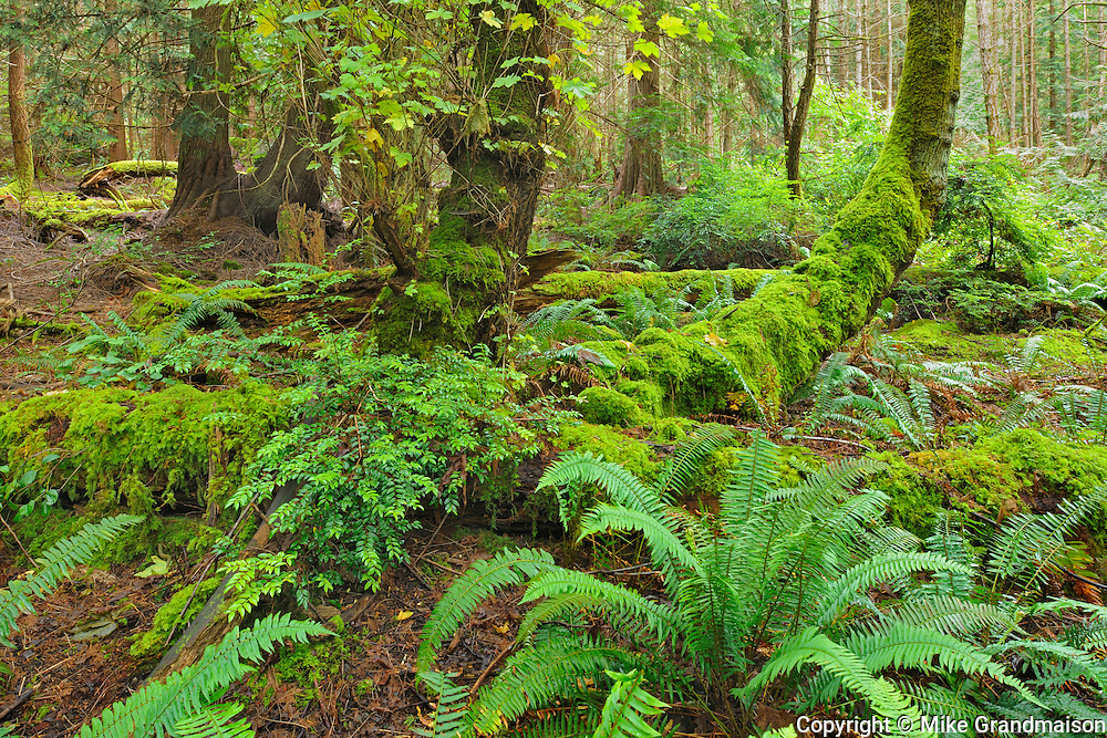Forest on Hornby Island in the Gulf Islands<br /> Helliwell Provincial Park<br /> British Columbia<br /> Canada