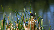 Orange headed Blackbird against the reeds
