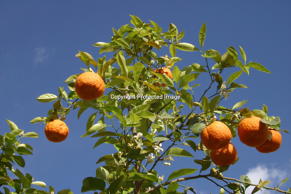 oranges in morocco