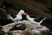 Albatross is standing on the nest while dancing with its mate.