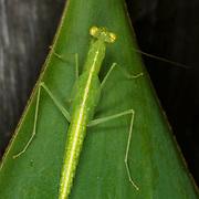 Tropidomantis tenera mantis nymph at Chaloem Phrakiat Thai Prachan National Park, Thailand