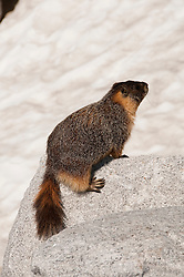 Marmot, mammal, high country, Yosemite National Park, California, USA.  Photo copyright Lee Foster.  Photo # california120869