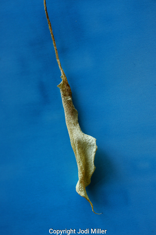 A dried desert leaf on blue.