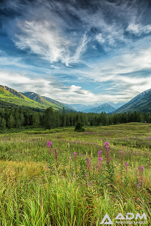Fireweed on top of Turnagain Pass