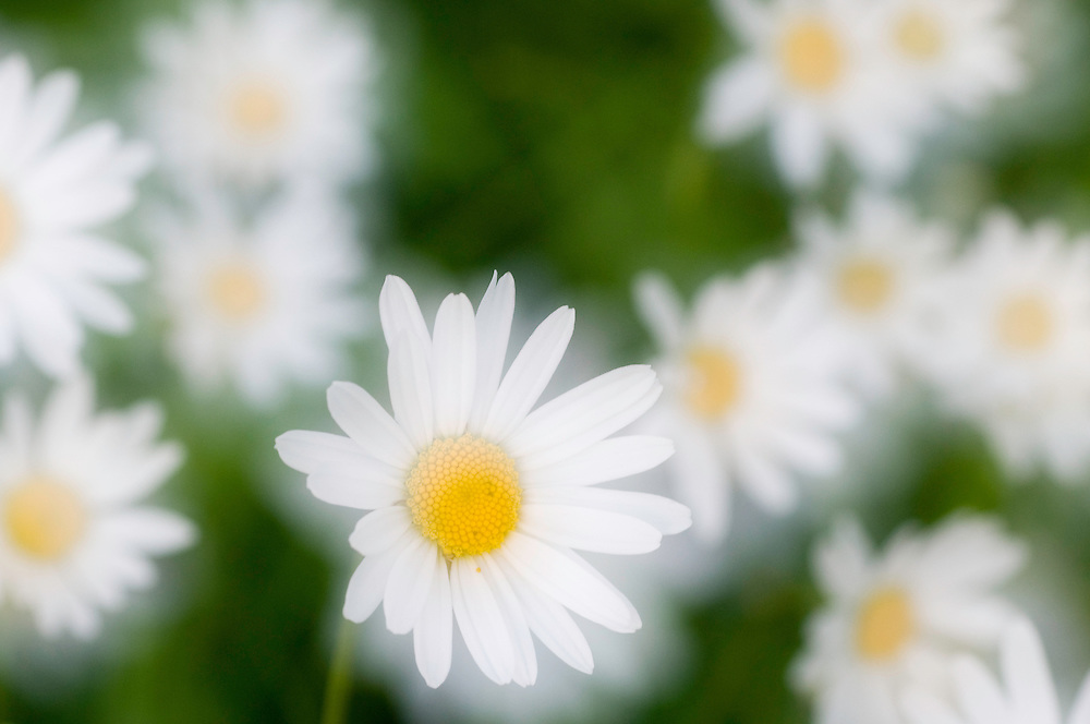 Leucanthemum adustum; Mountain daisy; Double exposure, Malbun, Liechtenstein