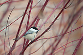 Misc Chickadees, Nuthatches and Allies