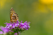 Fritillary butterfly feeding on horsemint blossom, with highlights from black-eyed susan blossoms in the background, mountain meadow, Jemez Mountains, NM, © 2010 David A. Ponton