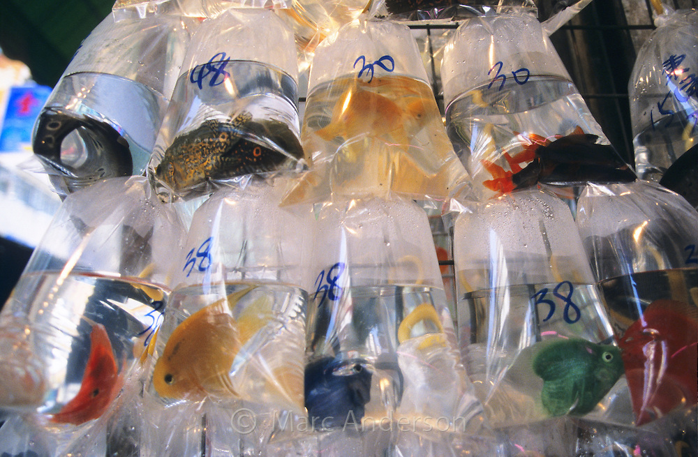 Tropical fish in bags at the Mongkok Goldfish Market, Hong Kong, China.